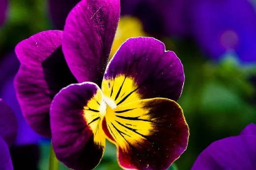 "Violas for just the right touch. ""Weaver"" flowers."