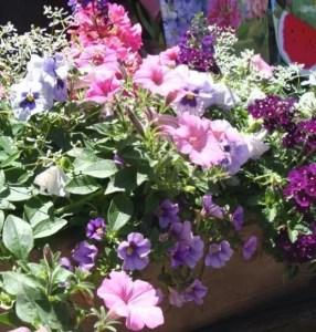 Summer Petunias