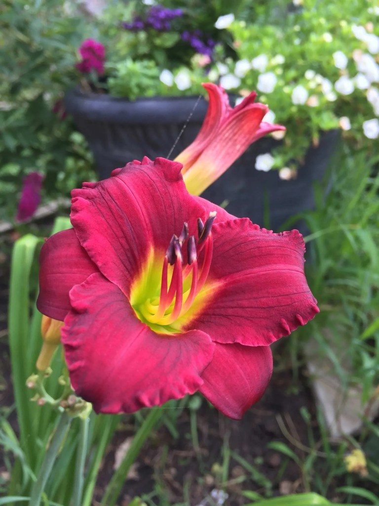 Daylily -August 2018