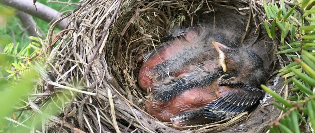 Our Little Baby Robins