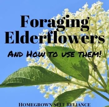 Foraging Elderflowers