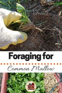 Foraging for Common Mallow