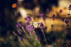 Lavender with butterfly