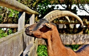 Horned goat with fence