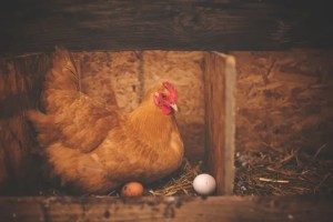 Raising chickens for beginners