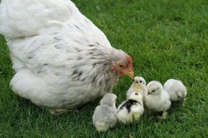 Raising chickens for beginners - What causes egg production to drop?