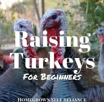 Raising Turkeys For Beginners