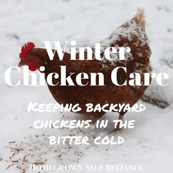 Keeping your chickens healthy and safe during the bitter cold winter months. #backyardchickens #chickens #chickentenders