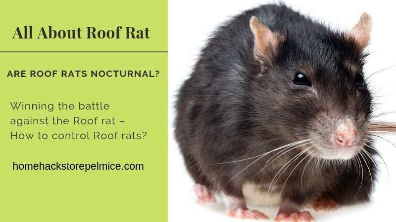 All About Roof Rat - Identification, Eating Habits, and Trapping ...