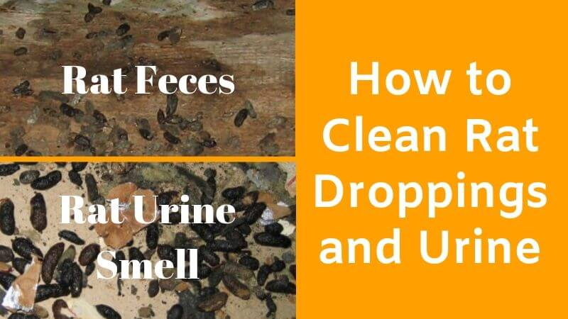 Rat Feces and Urine Smell – Identification and Safe Cleaning