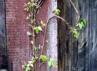 Poison Ivy climbing up barn