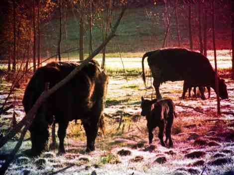 Black Angus Cows and Calves Crazing in the morning