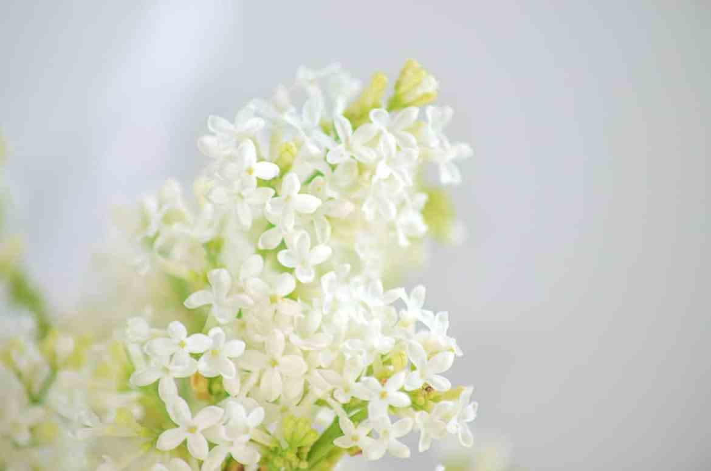 enjoy your fresh cut lilacs longer