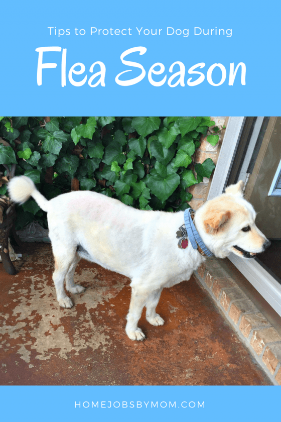 Tips To Protect Your Dog During Flea Season