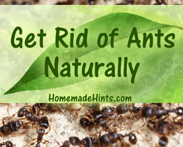 Ants Cooperation Makes Them Effective Workers And Pests