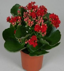Kalanchoe rood  Home Meets Nature