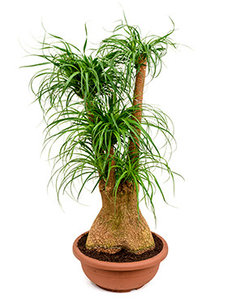 Beaucarnea Recurvata olifantspoot  Online planten