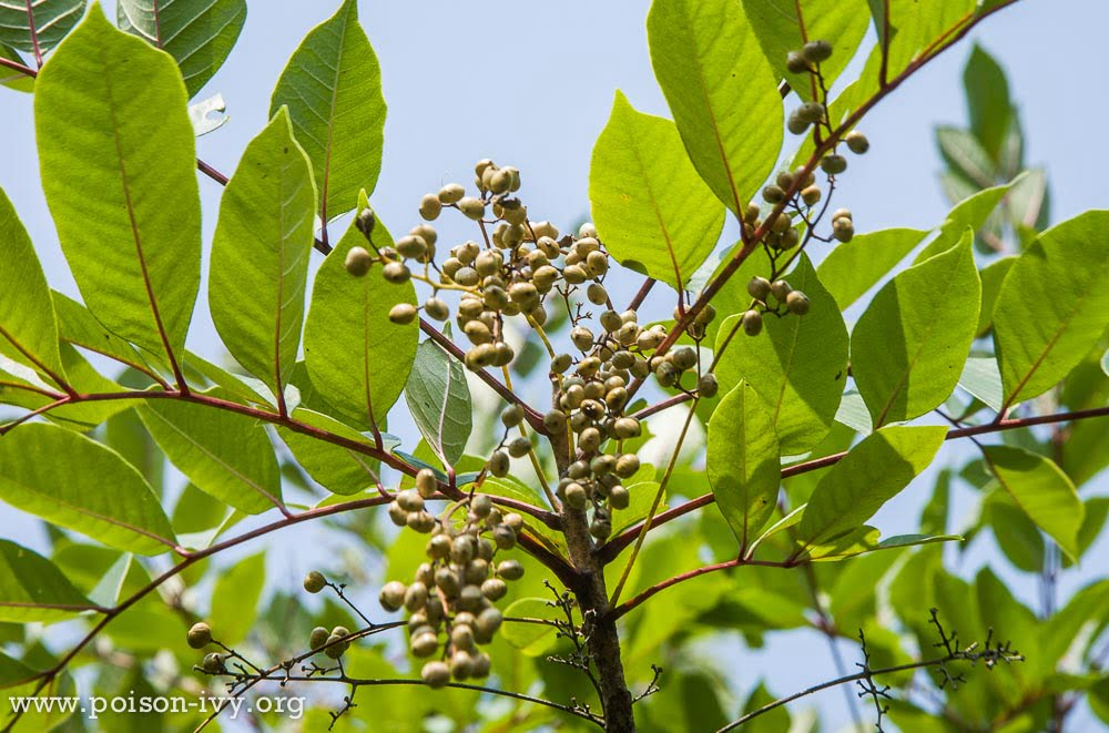 Poison Sumac Natural Cures