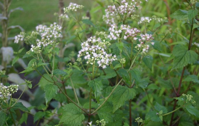 Health benefits of snakeroot