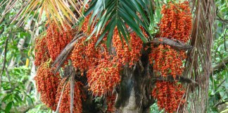 Health benefits of peach palm