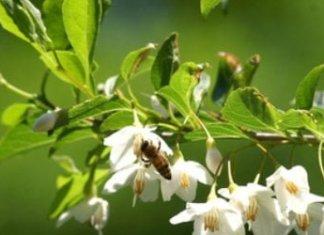 Benzoin essential oil: Health benefits