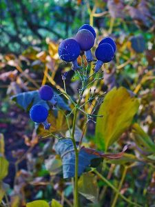 Blue Cohosh, birth control