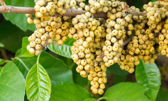Natural cures for poison oak