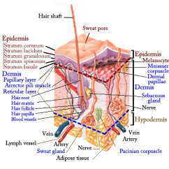 Dermis Layer Diagram Yamaha Mio Wiring Integumentary System Review Key Skin