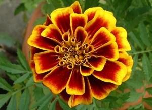 Close_marigold