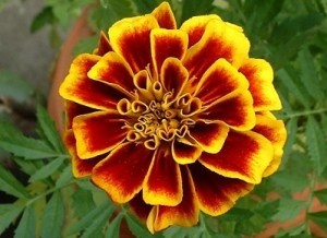 Close_marigold