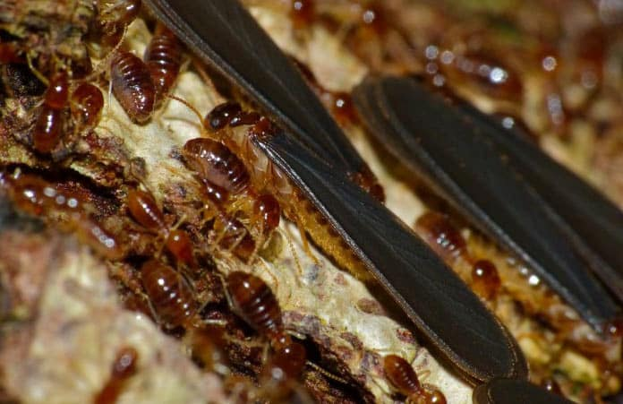18 Easy Natural Home Remedies To Get Rid Of Termites Quickly