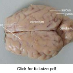 Sheep Brain Diagram Biology Corner Wiring 7 Pin Trailer Plug Dissection Guide With Pictures Worksheets Project