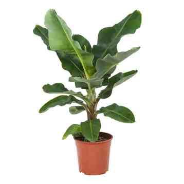 Bananenplant Musa Dwarf Cavendish - Een prachtige groene jungleplant voor in huis | Kamerplant | Homeseeds.nl