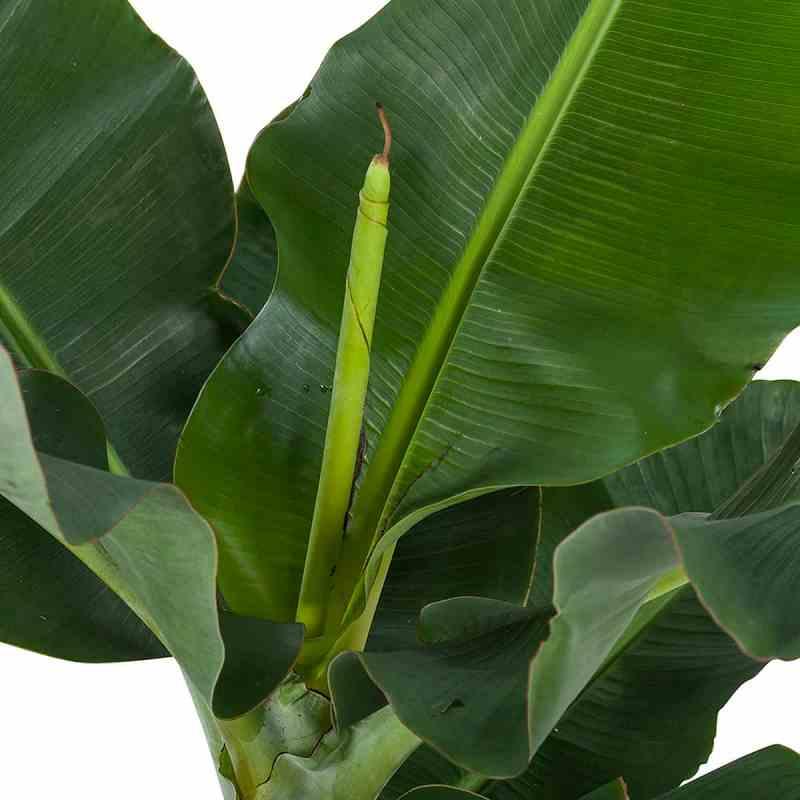 Blad van de bananenplant | Musa Dwarf Cavendish