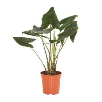 Alocasia Zebrina kamerplant Olifantsoor | Homeseeds.nl