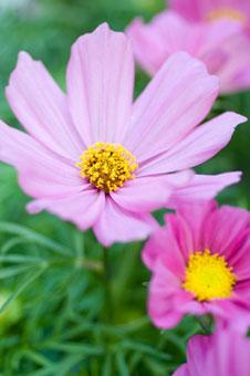 Nelken Petunien  Malven  Die schnsten Blumen fr den