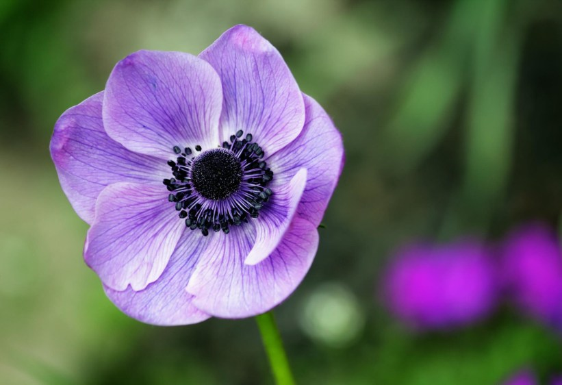 anemon ultra violet pantone 2018