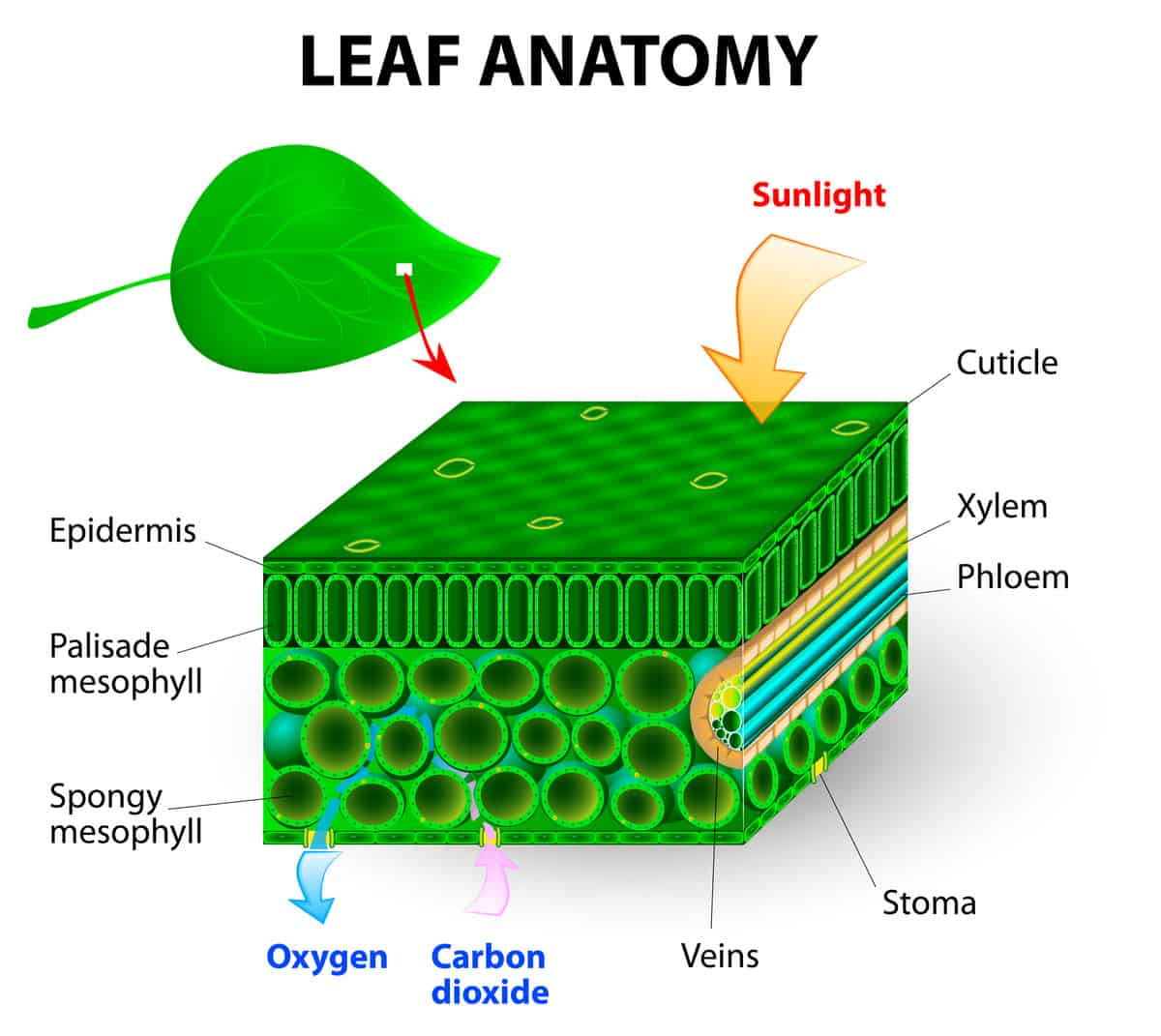 hight resolution of leaf anatomy diagram