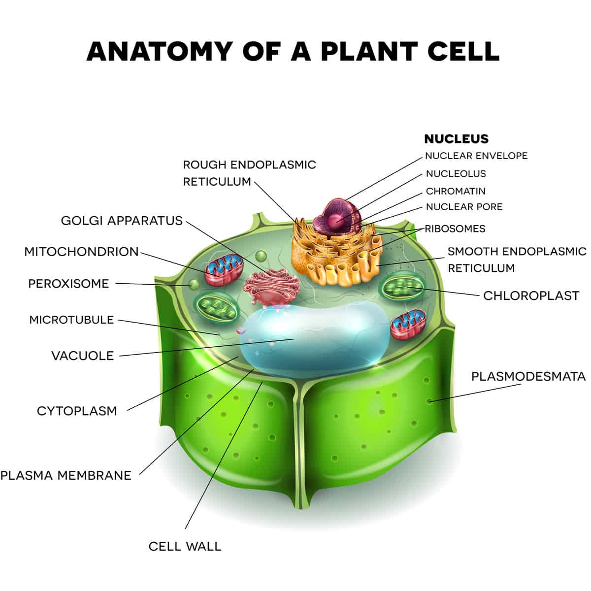 hight resolution of illustration of a plant cell