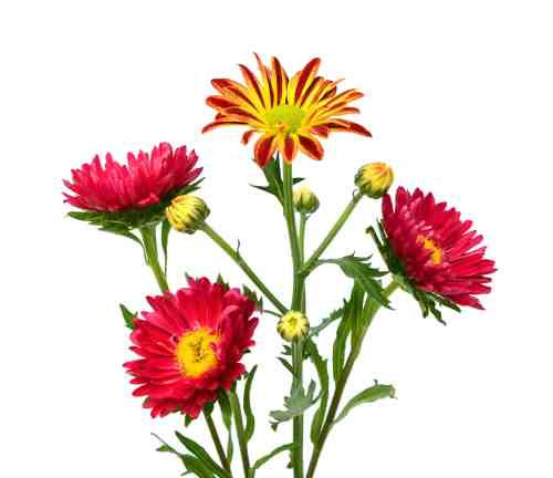 small resolution of incurve chrysanthemum