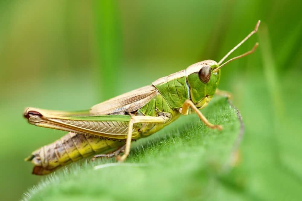 A Grasshopper 1 15 5