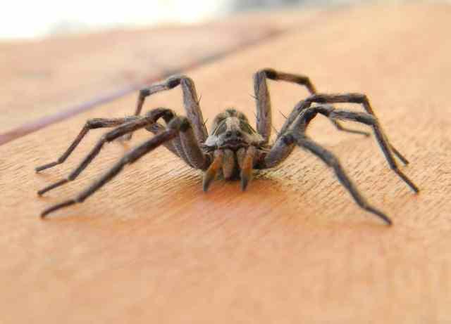 Ahşap bir yüzey üzerinde büyük bir örümceğe yakından bakış.
