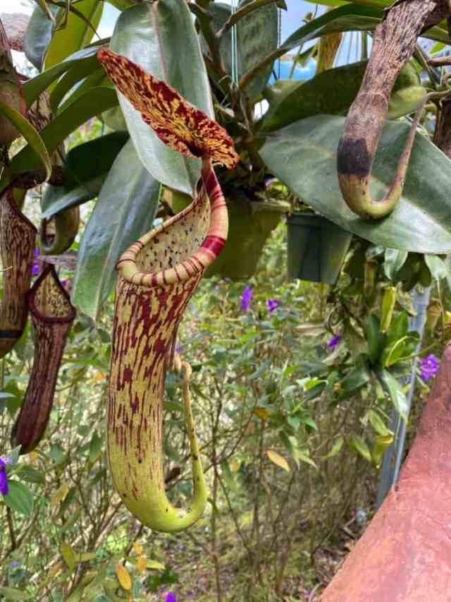 Etçil sürahi bitkilerine yakından bakış.