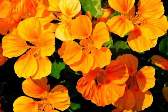 Turuncu nasturtium çiçeklerine yakından bir bakış.