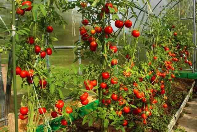 Bir serada yetişen bol miktarda domates.