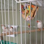 Rescued finches almost ready for permanent homes