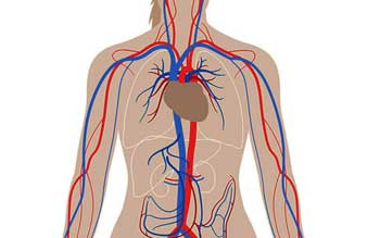 Diferencia entre arteria y venas