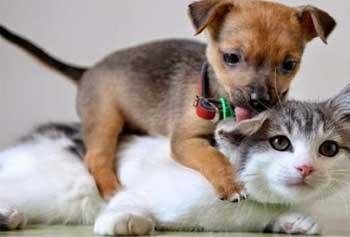 Perros y gatos jugando juntos