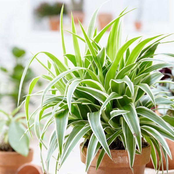 Las plantas Chlorophytum no podrán morir tan fácilmente y resistirán a que seas descuidado.