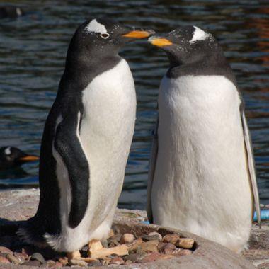 pingüinos homosexualidad especies reino animal gay pareja